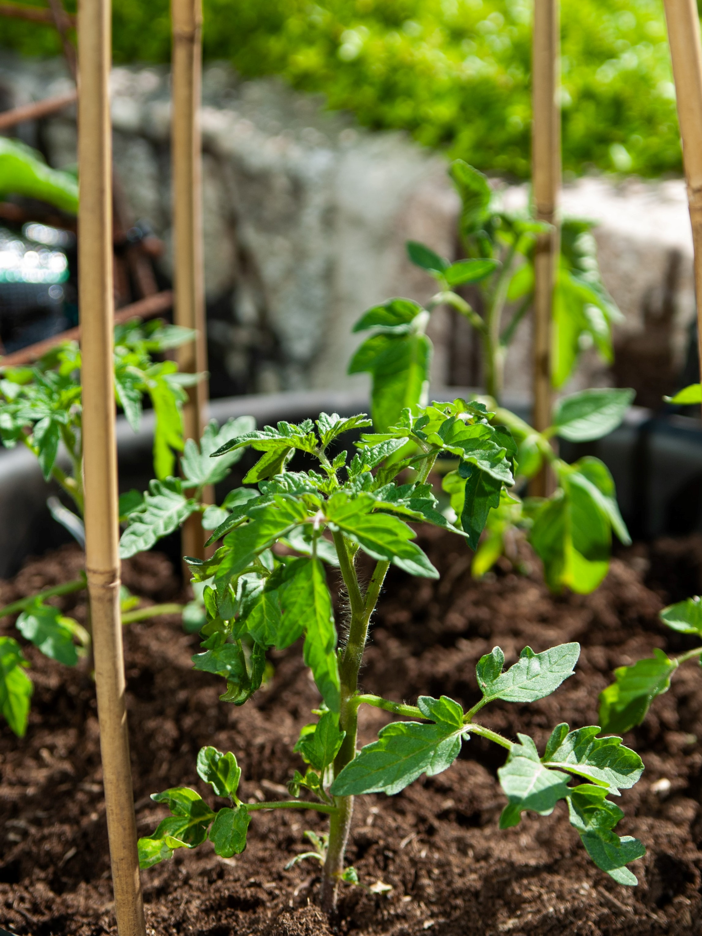 tomato plant in dirt with support stick